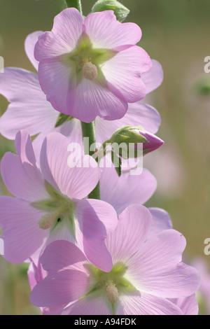 Lavatera thuringiaca, Mallow thuringian,  flowers, Malvaceae, Bulgaria - Stock Photo