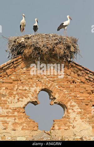 White stork Ciconia ciconia on nest - Stock Photo