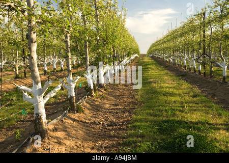 Apple orchard, showing new 'grafts', springtime, California - Stock Photo