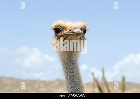Ostrich gives photographer the once over. - Stock Photo