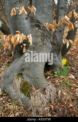 spring time in beech forest with flowering Cowslip (Primula veris), Rodopi Mountain, Bulgaria - Stock Photo