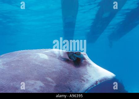 Southern stingray and boat Dasyatis americana Stingray City Grand Cayman Caribbean - Stock Photo