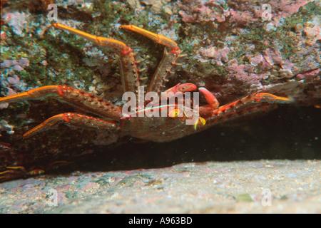 Flat rock crab Percnon planissimum Pupukea Oahu Hawaii N Pacific - Stock Photo