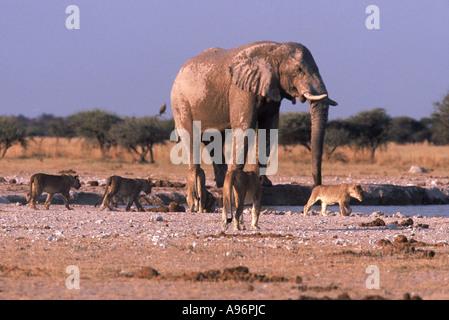 elephant and lion at Nxai Pan, Loxodonta africana Panthera leo - Stock Photo