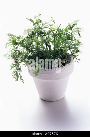 how to grow coriander in pot