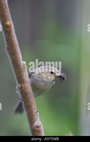 Common chiffchaff Phylloscopus collybita in garden with food for young Ringwood Hampshire England - Stock Photo