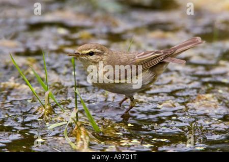 Willow Warbler Phylloscopus trochilus  in garden pond looking alert Potton Bedfordshire - Stock Photo