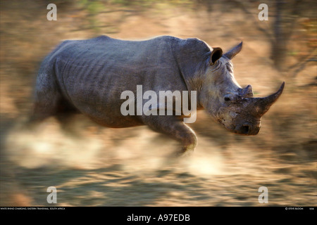 Charging white rhino Kapama Game Reserve South Africa - Stock Photo