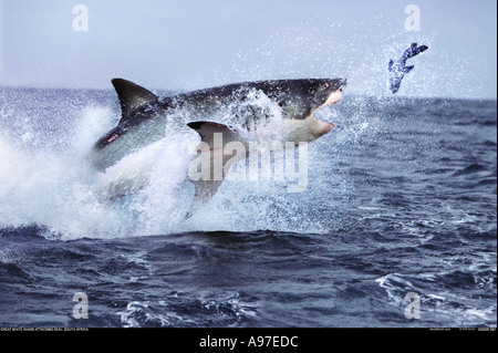 Great white shark hunting seal South Africa - Stock Photo