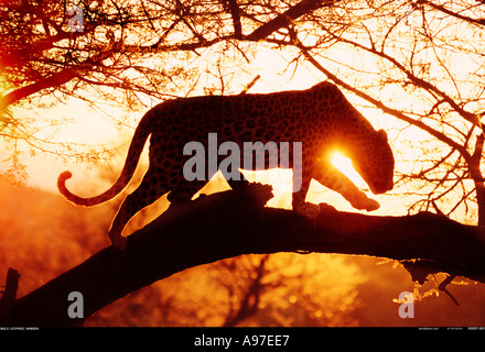 Leopard Namibia - Stock Photo