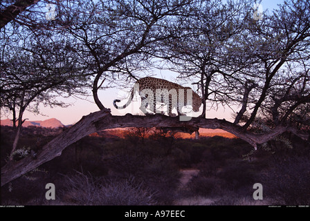 Leopard at dawn Namibia - Stock Photo