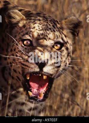 Snarling Leopard Namibia - Stock Photo