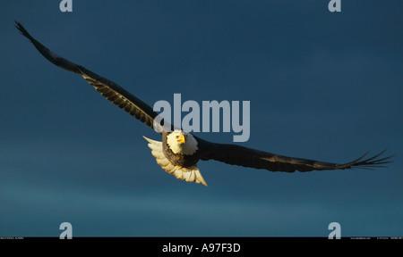 Bald eagle in flight Alaska - Stock Photo
