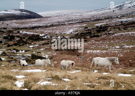 White Ponies in Snowy Moor - Stock Photo