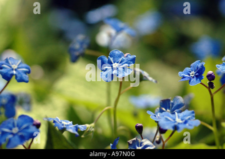 Blue-Eyed Mary (Omphalodes verna) also called Creeping Forget-Me-Not - Stock Photo