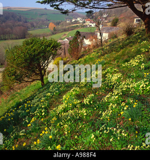 Typical thatched cottage and hillside garden with primroses and daffodils in small valley Braunton Devon England - Stock Photo