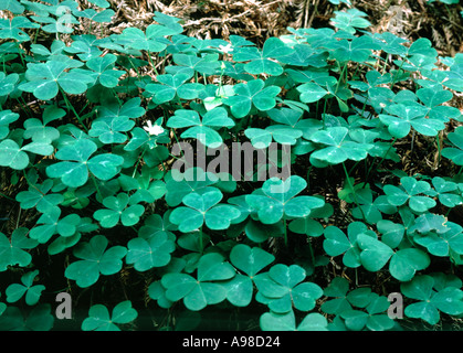 Clover growing along the Coquille River in the rain forest on the Southern Oregon Coast - Stock Photo