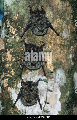 Proboscis Bats (Rhynchonycteris naso) Three roosting under rainforest tree, Tortuguero National Park, Costa Rica - Stock Photo
