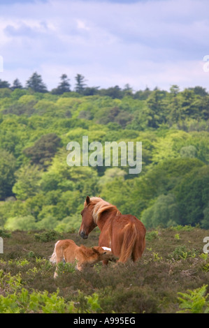 Wild mare nursing her young foal with forest in the background New Forest, Hampshire, England. - Stock Photo