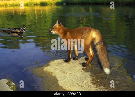Red fox (Vulpes fulva) on rock watching wood ducks swimming, Missouri USA - Stock Photo