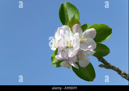 Apple blossom isolated against a bright blue sky - Stock Photo