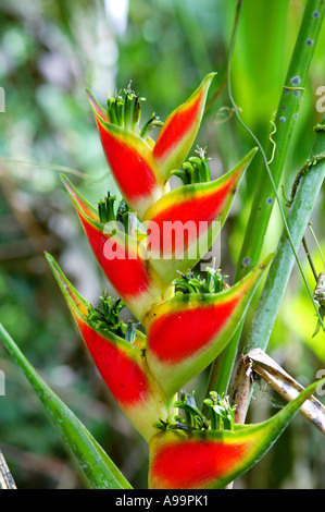 Red and yellow Heliconia flower in the rainforest at Cana in the Darien national park, Darien province, Republic - Stock Photo