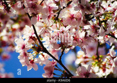 Cherry blossoms against blue sky - Stock Photo