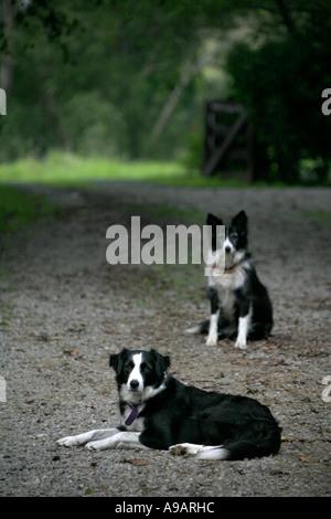 Border collie farm dogs - Stock Photo