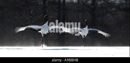 Red Crowned Crane Grus japonensis Pair flying in landing wings open Hokkaido Island Japan - Stock Photo