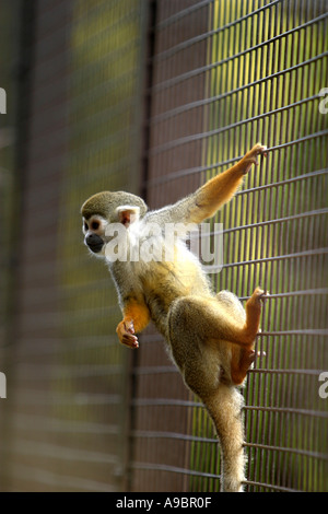 Caged monkey clinging to bars of cage - Stock Photo