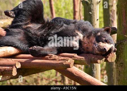 Relaxing Spectacled Bear Tremarctos ornatus - Stock Photo
