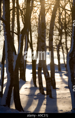 Backlit tree trunk silhouettes  at wintertime - Stock Photo