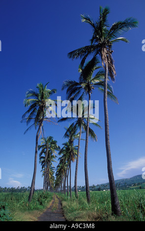 Cocos palms near Saint Louis on Reunion Island, France, Indian Ocean, Africa. - Stock Photo