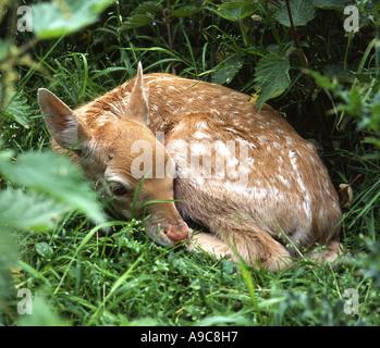 Fawn, young Fallow deer, Norfolk - Stock Photo