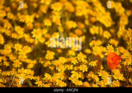 California Poppies and Carpets of Goldfields Antelope Valley near Lancaster California - Stock Photo