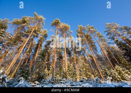 Frosty pine ( pinus sylvestris ) trees growing on steep hillside , Finland - Stock Photo