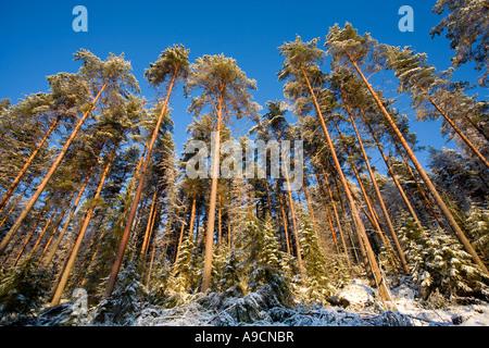 Pine ( pinus sylvestris ) trees growing on steep hillside , Finland - Stock Photo