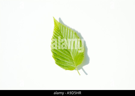 Yellow Birch Betula alleghaniensis leafs with a white background during the spring months in New England USA - Stock Photo