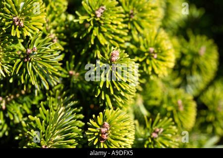 Caucasian Fir 'Munsterland' Abies nordmanniana Pinaceae - Stock Photo