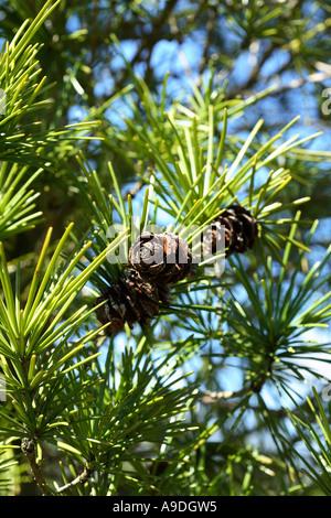 Japanese Umbrella Pine Sciadopitys Verticillata 'Wintergreen' Pinaceae - Stock Photo