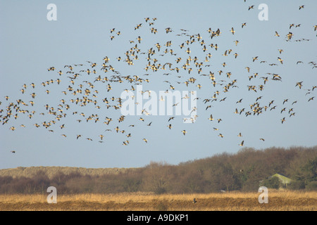 Flock of pink footed geese Anser brachyrhynchus in flight Hickling Broad Norfolk England February - Stock Photo