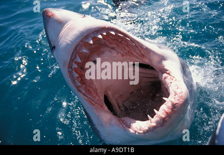 ms7 Great White Shark Carcharodon carcharias South Africa Atlantic Ocean Photo Copyright Brandon Cole - Stock Photo