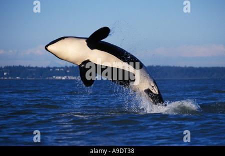 ns1 ORCA WHALE Orcinus orca breaching British Columbia Canada Pacific Ocean Photo Copyright Brandon Cole - Stock Photo