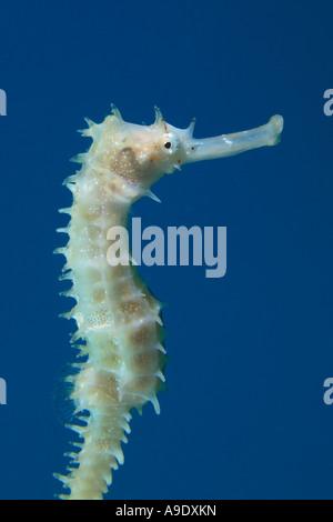 Thorny Seahorse Hippocampus jayakari - Stock Photo