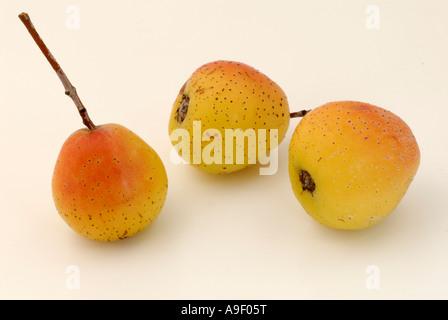 True Service Tree (Sorbus domestica), fruit, studio picture - Stock Photo