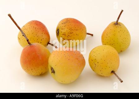 True Service Tree (Sorbus domestica), fruit studio, picture - Stock Photo