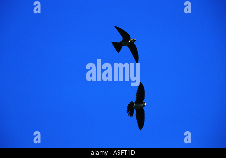 alpine swift (Apus melba), France, Southern France. - Stock Photo