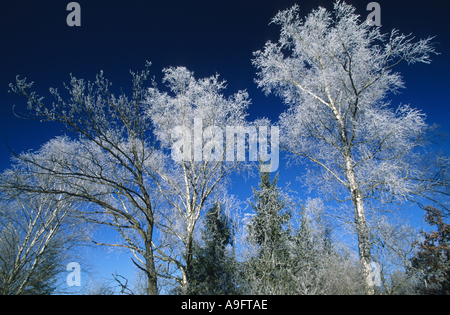 treetops covered with whitefrost, blue sky above, Germany, Oberbayern, Nature Reserve Maisinger See. - Stock Photo