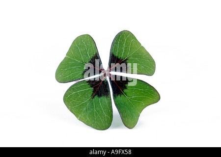 four-leafed clover (Oxalis tetraphylla), four-leafed clover - Stock Photo