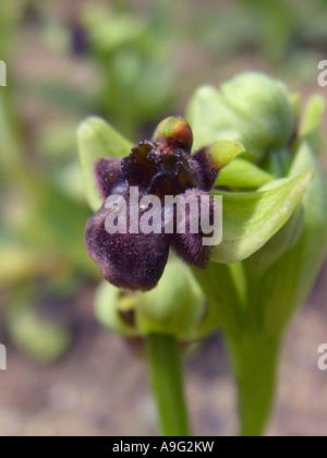 silky fowered ophrys (Ophrys bombyliflora), single blossom, Spain, Majorca - Stock Photo